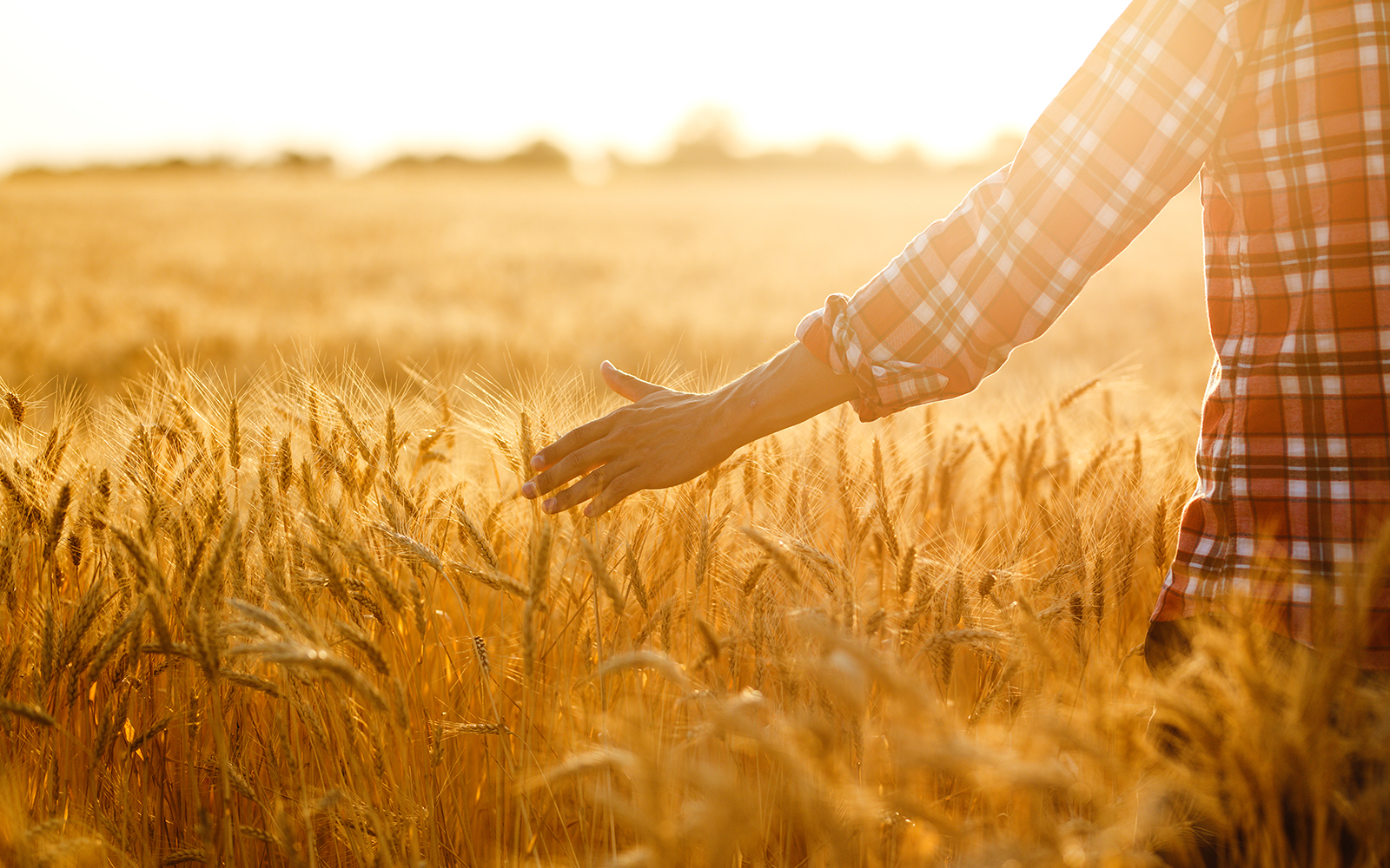 Close up of a persons hand walking through a wheat field